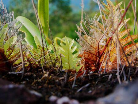 basket fern growing on rock in rain forest