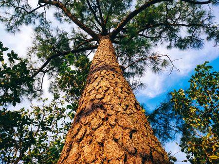 pine tree looking up at the sky Standard-Bild