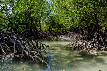 Tropical mangrove forest along coastal in Phangnga Bay, Thailand