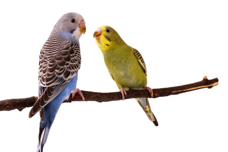 budgie: bird