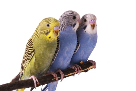 budgie: bird, animal, budgerigar, beak, bird, breeding
