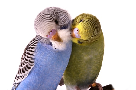 budgie: bird, animal, budgerigar, beak, bird