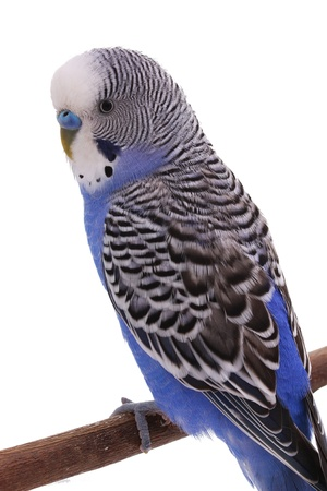 Blue wavy parrot Stock Photo - 13543415