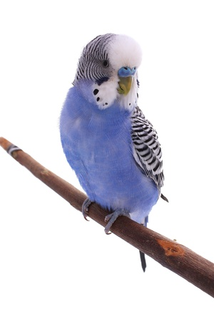 roost: Blue wavy parrot