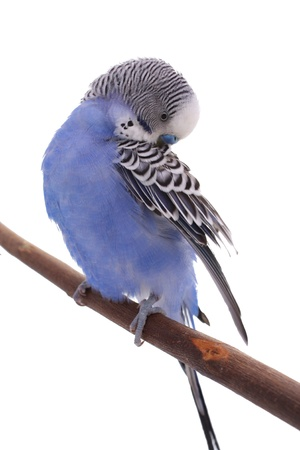 feathering: Blue wavy parrot