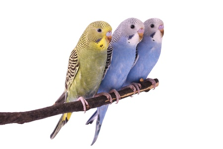 bird; budgie photo