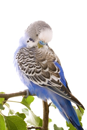 feathering: budgie