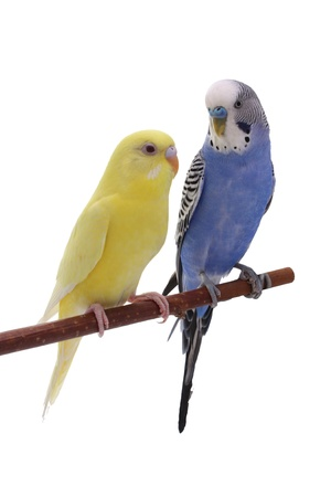 roost: budgie