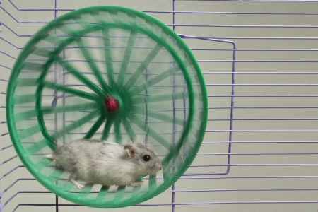 hamster running in the wheel photo