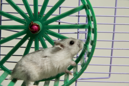 hamster: hamster running in the wheel