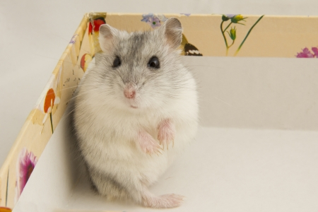 little hamster in the box photo