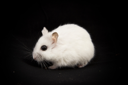 little hamster on a black background photo