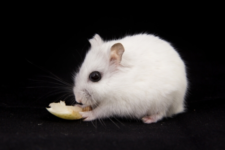 little hamster eats photo