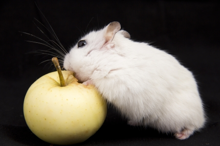 little hamster eats an apple photo