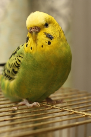 budgie: the little bird is on the cage