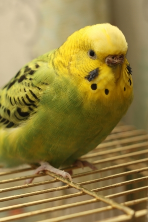 feathering: the little bird is on the cage