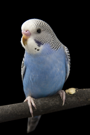 budgie: the little blue parrot is on a branch