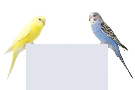 periquito: dos aves están en un fondo blanco