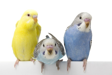 three birds are on a white background Stock Photo - 18391563