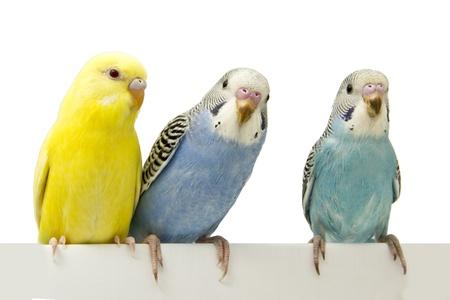 periquito: tres pájaros están en un fondo blanco