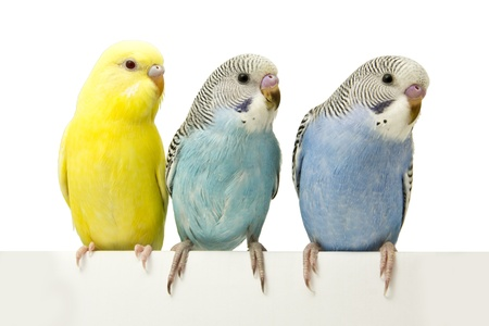 three birds are on a white background photo