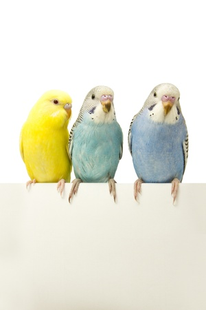 budgie: three birds are on a white background Stock Photo