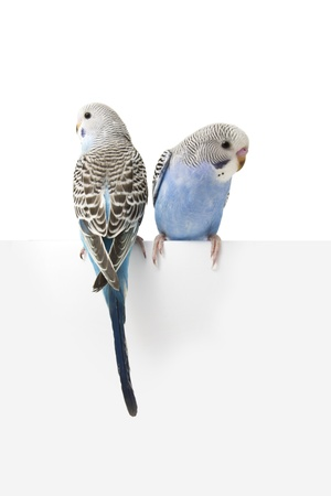 budgie: two birds are on a white background