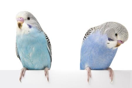 periquito: dos pájaros están en un fondo blanco Foto de archivo