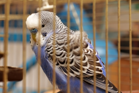 budgie: parrot is in a cage Stock Photo