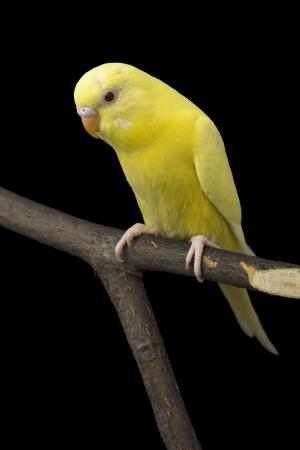 periquito: el loro amarillo está en una rama
