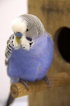 budgie: the chick and  budgie  are in a nest on white background