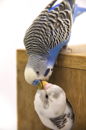 budgie: the chick and  budgie  are in a nest on white background.