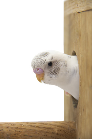 budgie: the little budgie is looking of the nest. Stock Photo