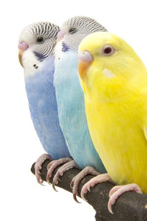 periquito: tres periquitos están en el gallinero Foto de archivo