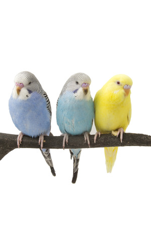 budgie: three budgies are in the roost