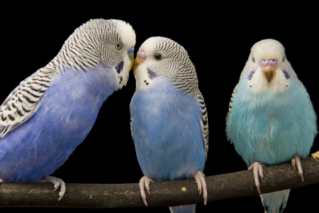 roost: three budgies are in the roost