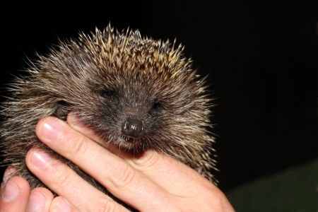 the young tame hedgehog in hand  photo