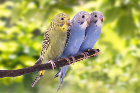 budgie: Two multi colored budgie are on the green background Stock Photo