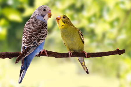 Two multi colored budgie are on the green background Stok Fotoğraf