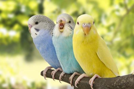 trois perruches sont dans le perchoir