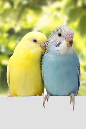 Two multi colored budgie are on the green background Stock Photo