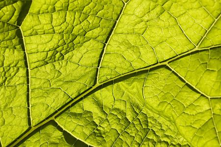 venation: green leaf with macro venation Stock Photo