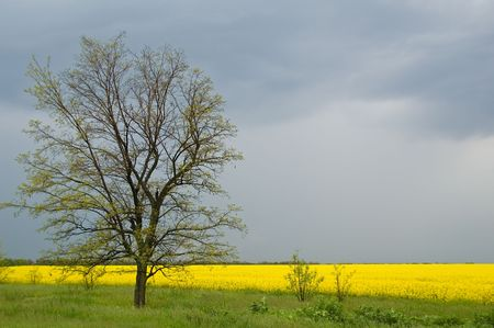 spring tree against yellow field and storm sky photo