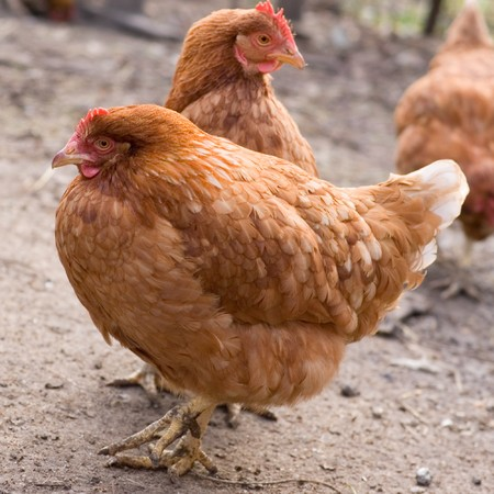 roost: hens Stock Photo