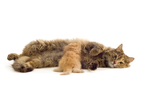 cat mother feeds red kitten isolated on white background photo