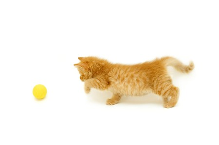 hunter playful: red kitten hunts for ball isolated on white background