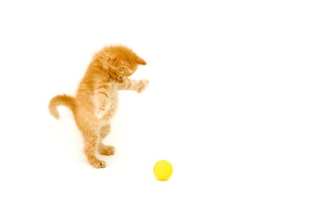 attention grabbing: red kitten hunts for ball isolated on white background
