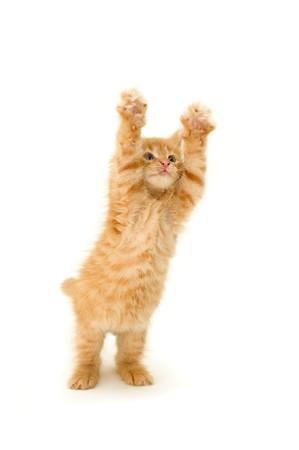garra: divertido gatito rojo aislado sobre fondo blanco  Foto de archivo