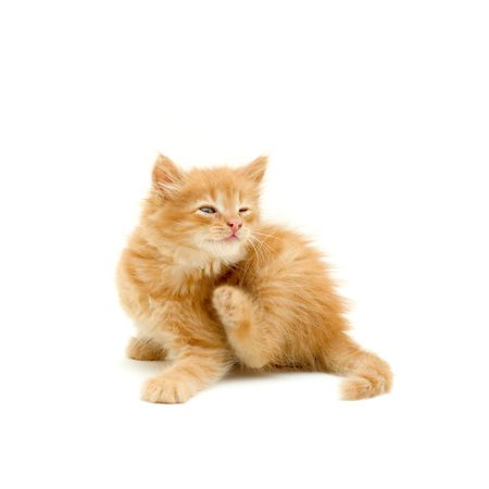 kitten scratching isolated on white background Stock Photo - 7174115