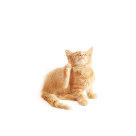 attention grabbing: kitten scratching isolated on white background